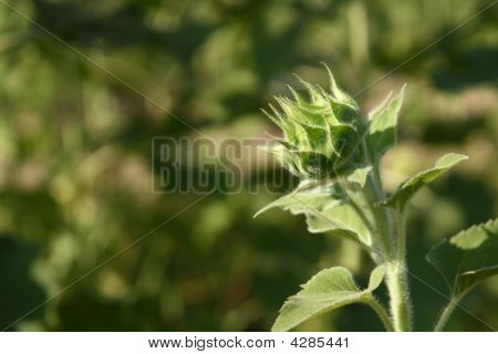 The Burgeon Sunflower