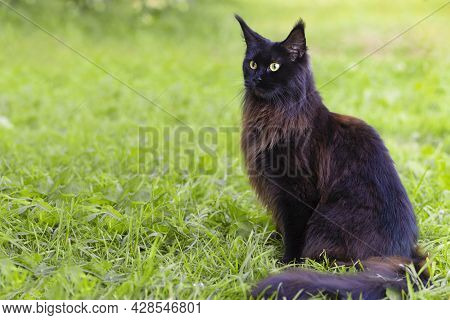 Portrait Of Young Purebred Pedigreed Cat, Black Maine Coon With Bright Green Eyes On The Grass On Th