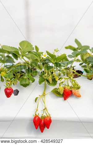 Red Strawberry In Organic Farm. Fresh Tasty Ready For Harvest Ripe Red Strawberries Growing On Straw