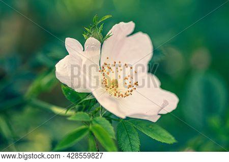 A Closeup Shot Of A White Rosa Rubiginosa Flower