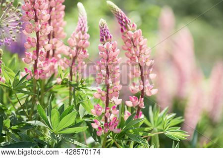 Flowers In A Spring Garden On A Sunny Day. Beautiful Pink Lupins On A Blurred Background. Copy Space
