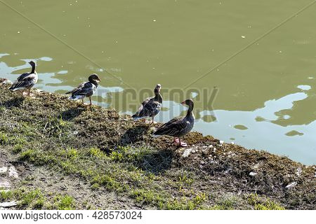 A Flock Of Greylag Geese Standing On The River Bank.