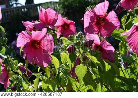 Beautiful Pink Hibiscus Flowers In A Garden Located At Piazzale Michelangelo In Florence. Italy.