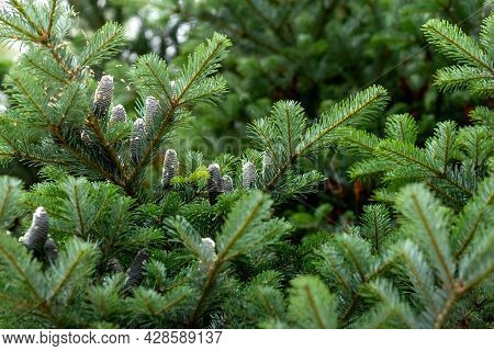 Spruce Branch With Black Cones On A Blurred Background. Black Cones On The Spruce. Summer Natural Ba
