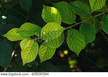 Fresh Green Leaves Of Trees. Green Background
