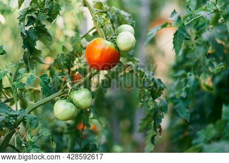 Big Ripe Tomato Growing On A Green Branch