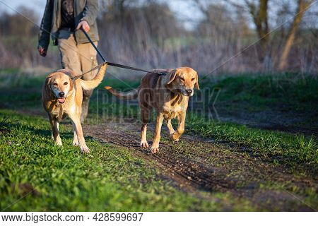 Two Russian Hound Dog On A Leash With The Host During The Walk.