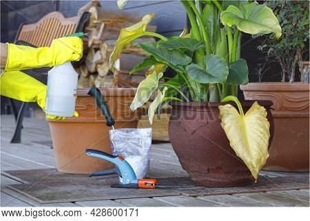 Hands Applying Fumigation Product With A Sprayer To A Damage Potted Plant.