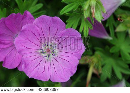 Pink Bloody Cranesbill, Geranium Sanguineum Variety Max Frei, Flower Close Up With A Background Of B