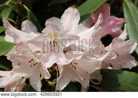 Pink Yakushimanum Rhododendron Hybrid Variety Pink Cherub, Flowers With Light Brown Spots On The Pet
