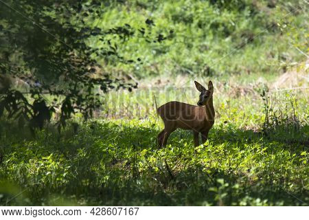 Roe Deer Cub In The Summer Forest
