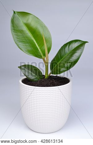 A Young Ficus Shoot In A White Pot.the Concept Of A Minimalistic Modern Creative Home Decor, Florist
