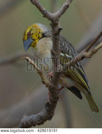 Closeup Of Colorful Village Weaver (ploceus Cucullatus) Bird Lake Tana, Gorgora, Ethiopia.