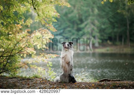 Dog In The Forest. Pet On The Nature Near Lake. Tracking. Obedient Border Collie.