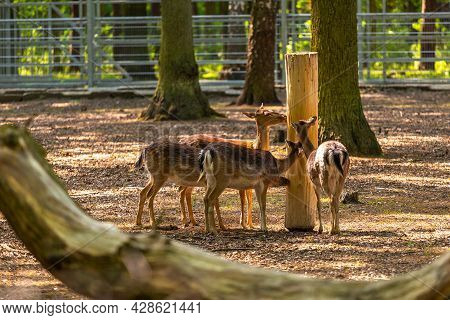 Roe Deer In A Mini Zoo In The Park Next To The Castle In Goluchow. Great Poland.