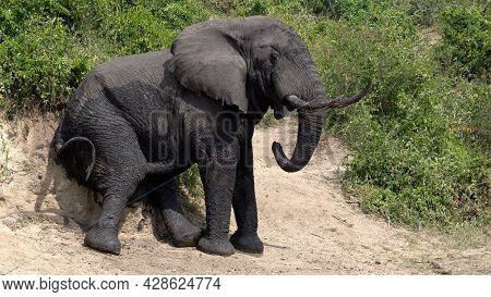 African Elephant (loxodonta Africana), Kazinga Channel, Uganda