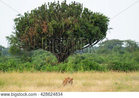 Panoramic Landscape Image With Lion, Uganda, Africa