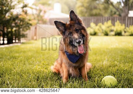 Portrait Of A German Shepherd Dog In A Garden. Purebred Dog Sitting On The Grass.