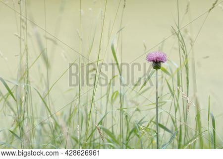 Texas Thistle In A Green Meadow Blooms In Summer, Also Called Purple Thistle And Southern Thistle. M