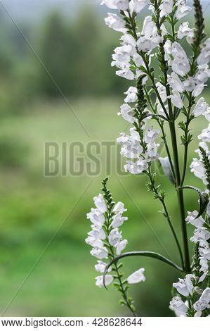Flowering Plant Physostegia Virginiana Alba. Garden Plant With White Flowers.