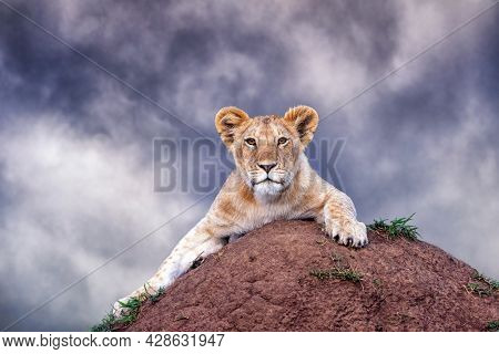 Cute lion cub, panthera leo,  crouches on a soil termite mound against a stormy sky. Masai Mara, Kenya. Space for text.