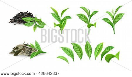 Green Dry Tea. Realistic Bush Foliage On Branch And Separate Leaves. Morning Drink Closeup Mockup. D