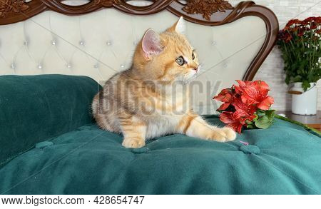 Little Red Ginger Striped Kitten And Red Flowers On White Bed In Bedroom. British Chinchilla Cat. Ad