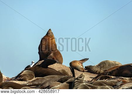 Dominant Male Cape Fur Seal Is Lying On The Rocks. An Adult Male Fur Seal Basks In The Sun On Island