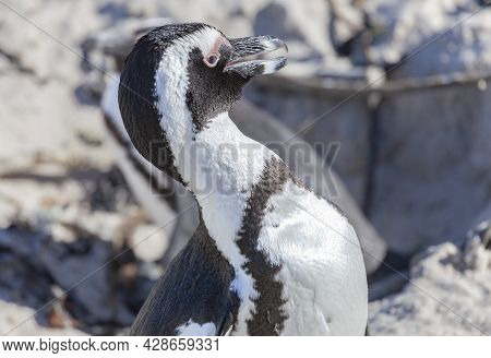 Portrait Of A Penguin With An Open Beak And Water Drops On Its Plumage. Waterfowl -  African Penguin