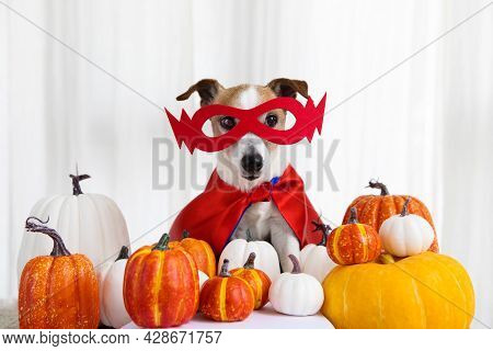 Portrait Cute Young Small Dog Sitting With Halloween Costume Pumpkins