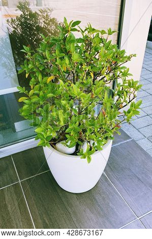 Green Plants In Large Pot In Courtyard For Landscape Design. Plants For House. Green Home.