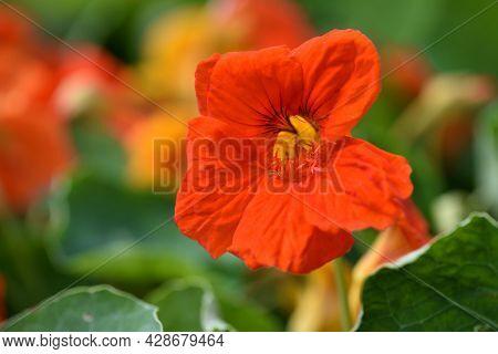 Close-up Of Vibrant Orange Nasturtium Or Tropaeolum Majus Flowers In The Garden. Selective Focus