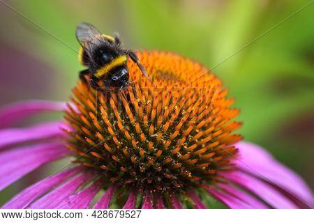 Honey Bee Sitting On The Echinacea Purpurea Flower, Honey Bee Pollinating, Selective Focus