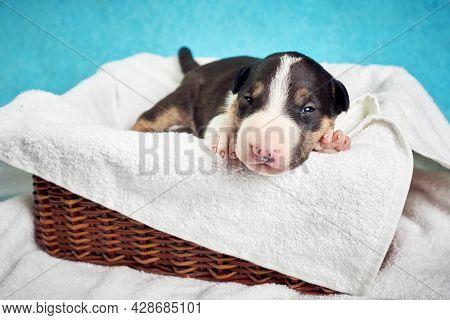 Cute Bull Terrier Puppy Sleeping. Miniature Newborn Pet 10 Days Old Lies On A White Background. Bull