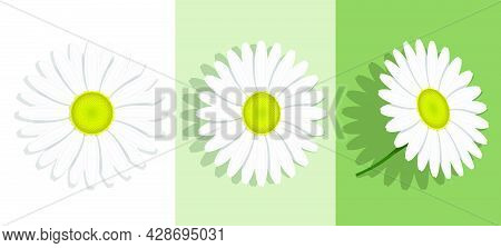 Lovely Chamomile Flower With White Petals. Summer Flower Isolated On Background. Medicinal Plants. R