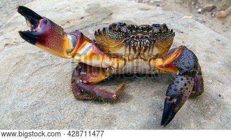 Large Black Sea Stone Crab Eriphia Verrucosa Sitting Closeup On The Shore. Sea Delicacy