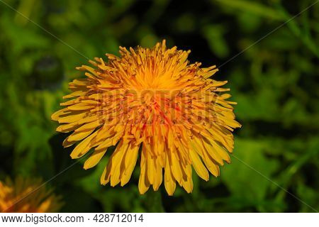 Close-up On A Yellow Blooming Dandelion In The Meadow. Contains Triterpene Glycosides, Which Influen