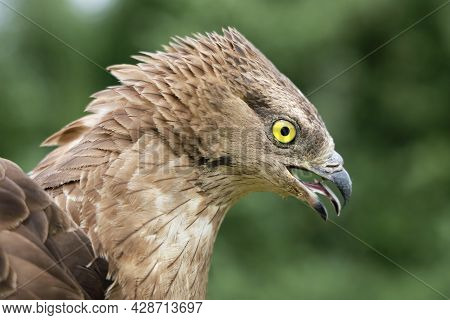 Short-toed Snake Eagle Circaetus Gallicus Predator Bird, Head With Open Beak, Close-up