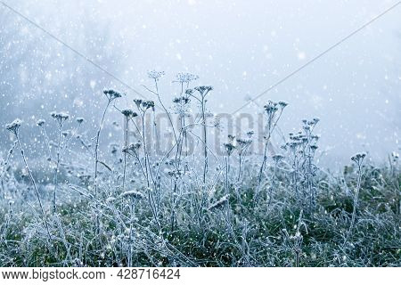 Frost-covered Dry Plants And Green Grass During A Blizzard. Christmas And New Year Background
