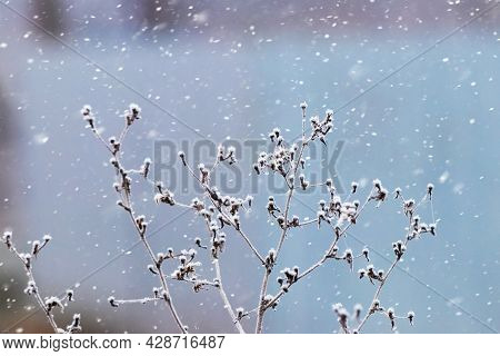 Frost-covered Dry Plants On A Light Blue Background During A Snowfall