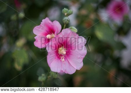 Bright Pink Malva Flower Close-up On A Blurry Background. Malva Belongs To The Genus Of Herbaceous P