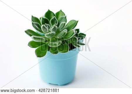 Close Up Succulent Plants On A White Background, Green Succulent, Echeveria Setosa
