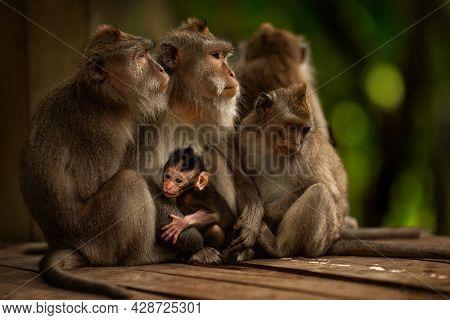 Monkeys family in Ubud forest, Bali