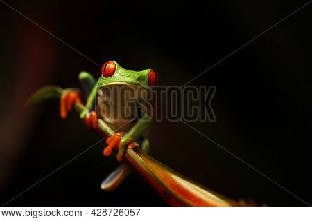 Red Eyed Tree Frog On Flower At Border Of Panama And Costa Rica In The Tropical Rainforest, Cute Nig