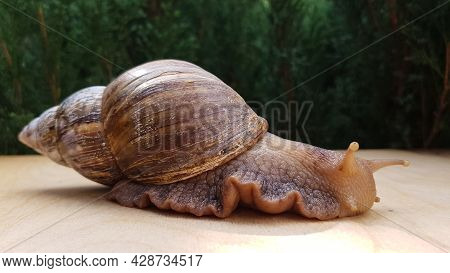 The Giant Achatina Snail Latin Achatina Fulica Is The Largest Land Mollusk That Crawls Slowly . In T