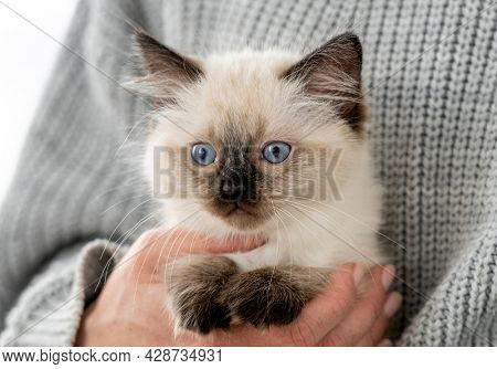 Woman hands holding adorable Ragdoll kitten looking at the camera. Cute little kitty with beautiful blue eyes at home with owner. Closeup portrait of breed cat child