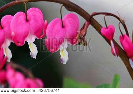 Macro Photo Of Pink Bleeding Heart Flowers Blooming
