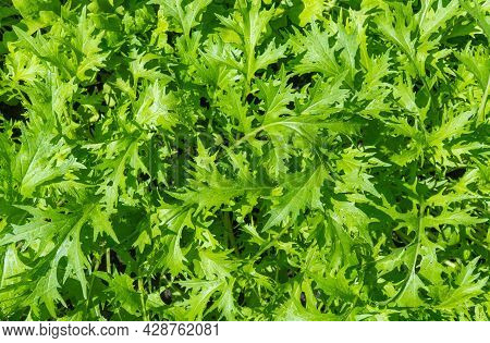 Leafy Salad Mustard. Brassica, Culture With The Taste Of Horseradish And Green Salad.
