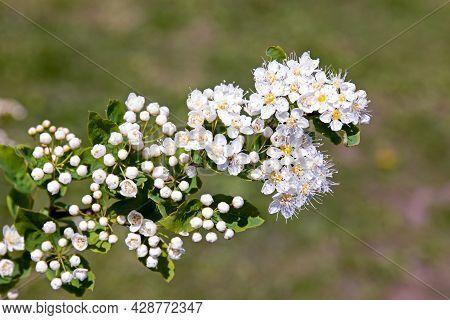 Blooms Spirea Bush-lat. Spiraea Is A Genus Of Deciduous Ornamental Shrubs In The Rosaceae Family. In