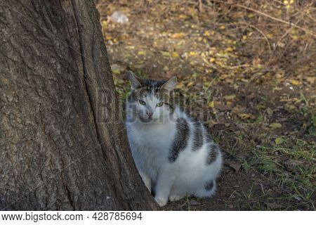 Plump White Spotted Cat Looks Out From Behind Thick Tree. Topic: Beautiful Cats, Advertising Of Cat